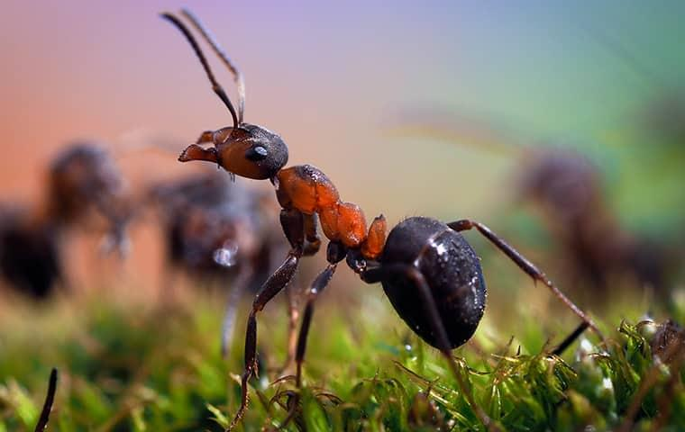 a close up view of a red and black ant outside of a home serviced by pest control consultants in dixon illinois