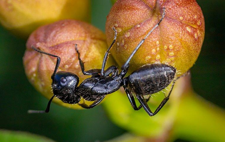 a carpenter ant on a piece of fruit