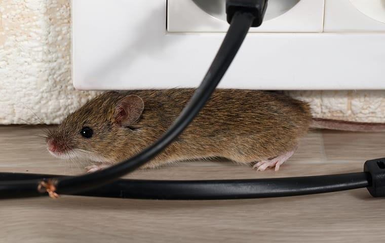 a house mouse chewing on wires