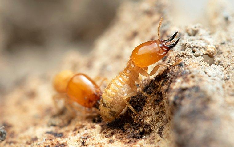 two termites on rotten wood