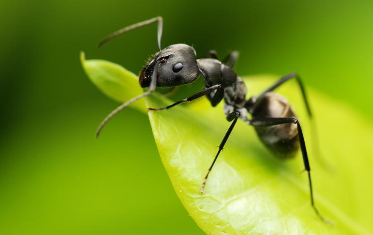 a black ant on a leaf