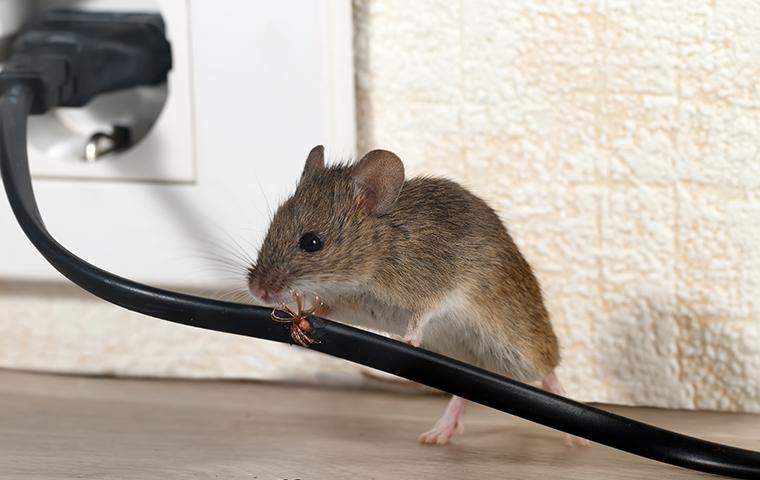 a mouse chewing on a wall cord