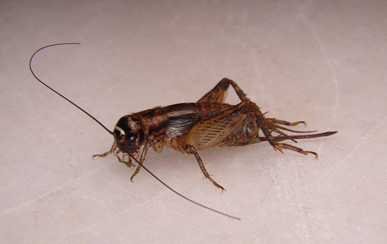 house cricket on kitchen counter