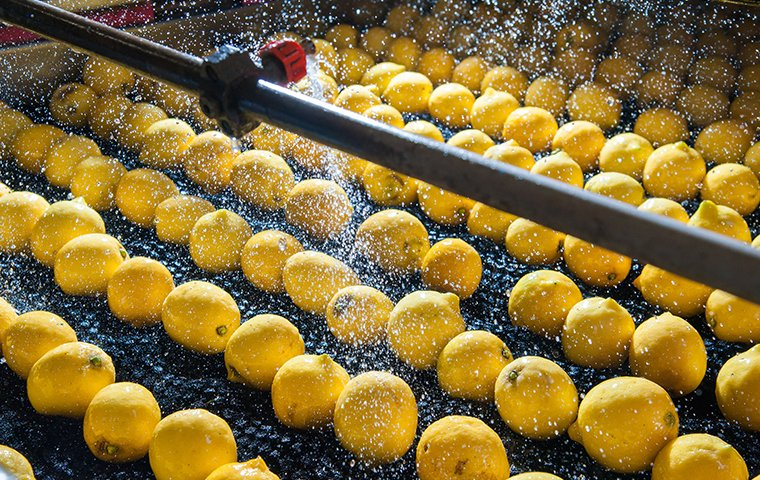 lemons on a conveyor belt