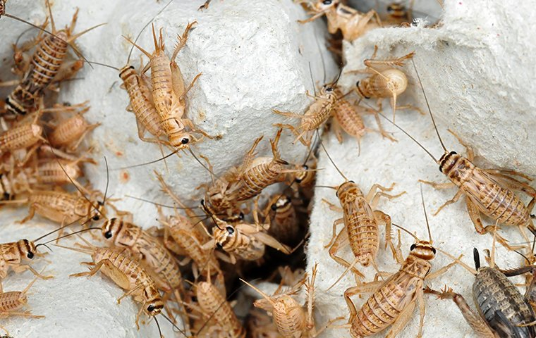 crickets infesting your home