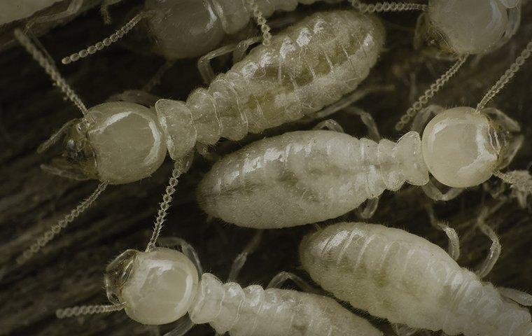 termite tube on house