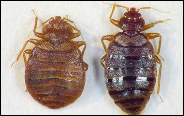 two bed bugs side by side