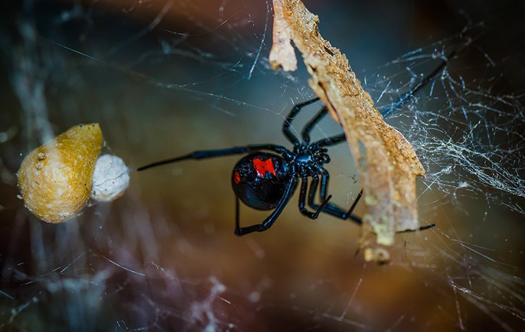 a black widow spider with its egg sack