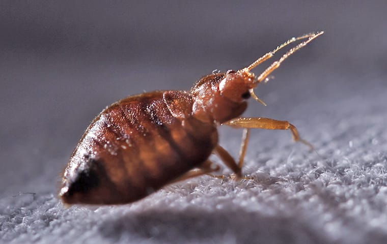 a bed bug crawling on sheets in a home in dallas texas