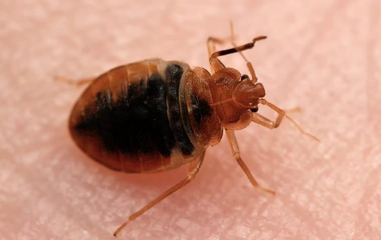 a bed bug crawling on a dallas texas resident