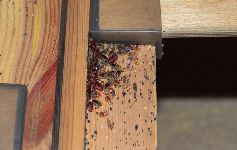 bed bugs infesting a bed frame
