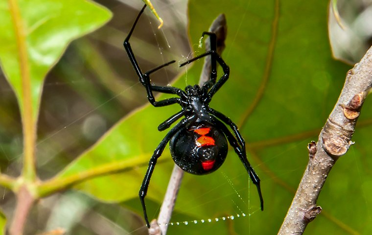 a black widow spider on a plant