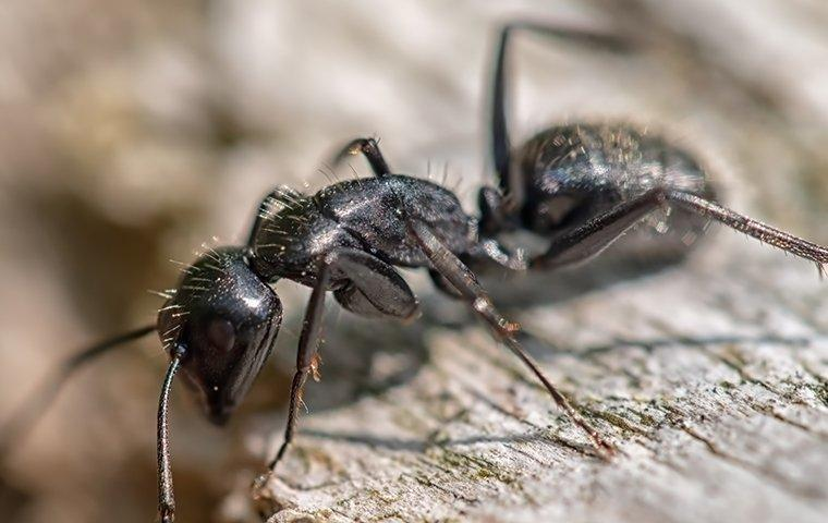 a carpenter ant crawling and chewing on wood