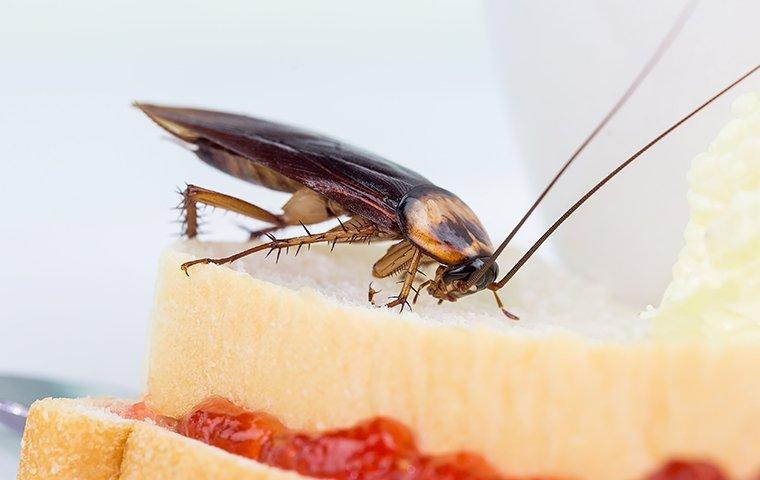 cockroach eating a sandwich