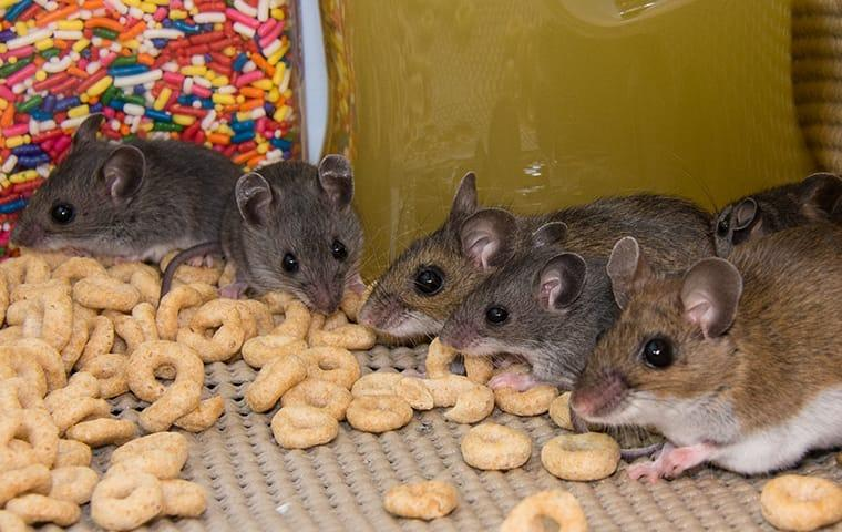 rodents eating cereal