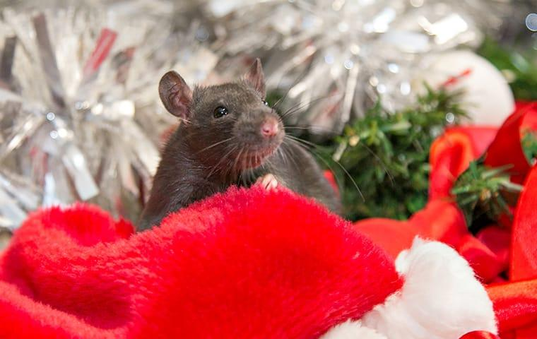 a rodent infestation with a storage bin of holiday decorations