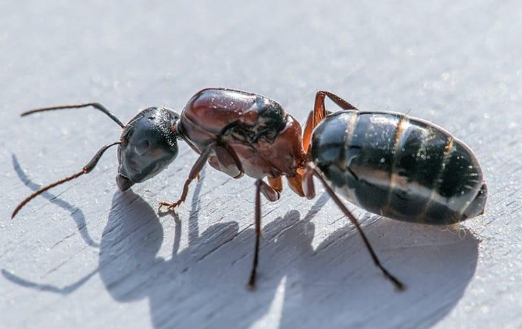 a carpenter ant crawling on a picnic table outside a dallas texas business