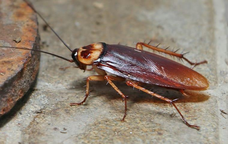 an american cockroach crawling on a basement floor of a house in dallas texas