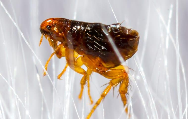 a flea crawling in pet hair in dallas texas