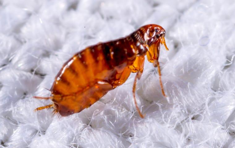 a flea crawling on fabric in a home in dallas texas