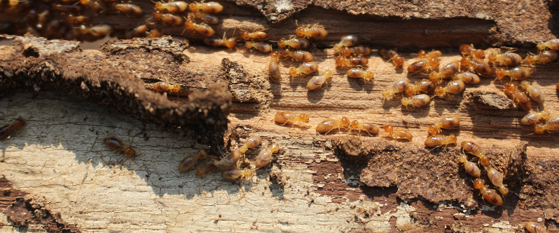 a termite infestation on a wooden structure outside of a home in dallas texas