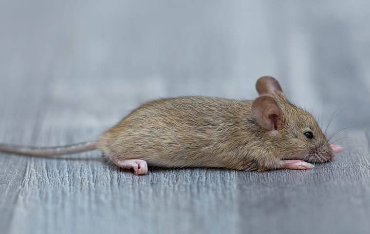 a mouse crawling on the floor of a house in dallas texas