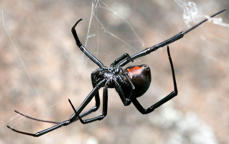 a black widow spider crawling in a web in dallas texas