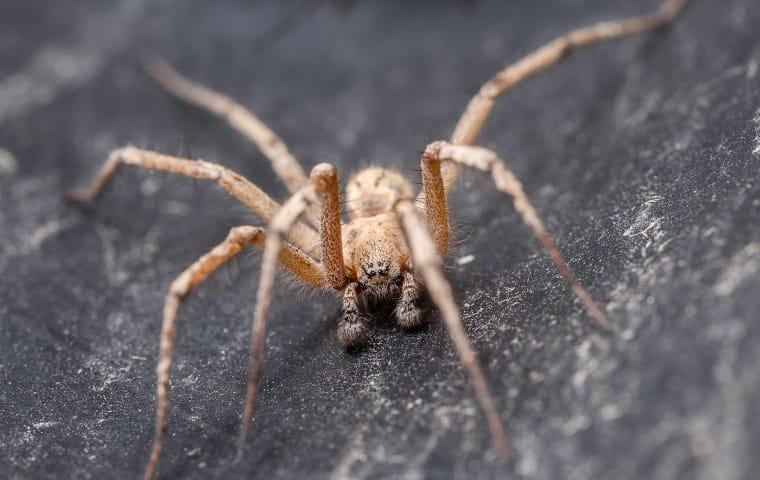 a field spider crawling near a home in dallas texas