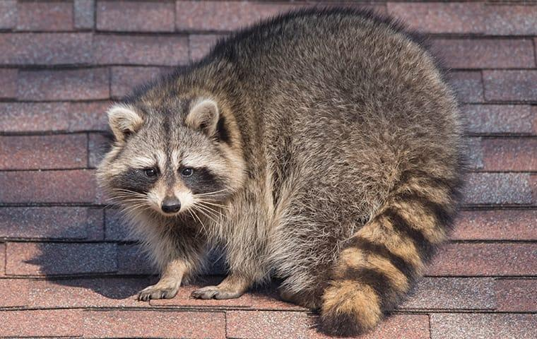 a raccoon crawling on a roof in dallas texas