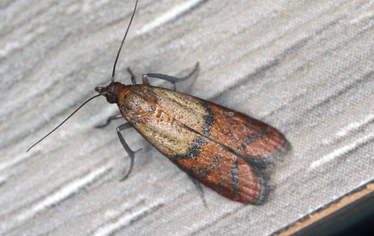 indian meal moth in a kitchen