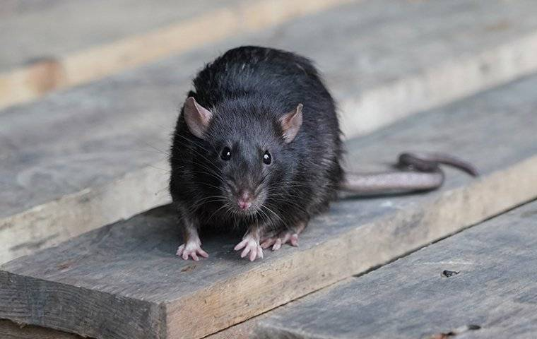 a black rat on a pellet