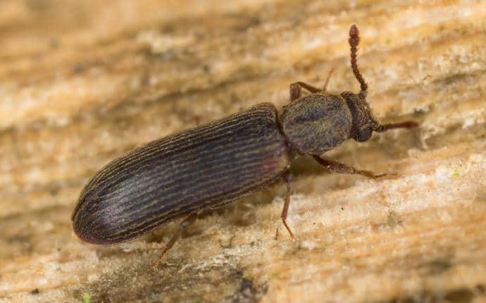 adult anobiid powderpost beetle on washington deck