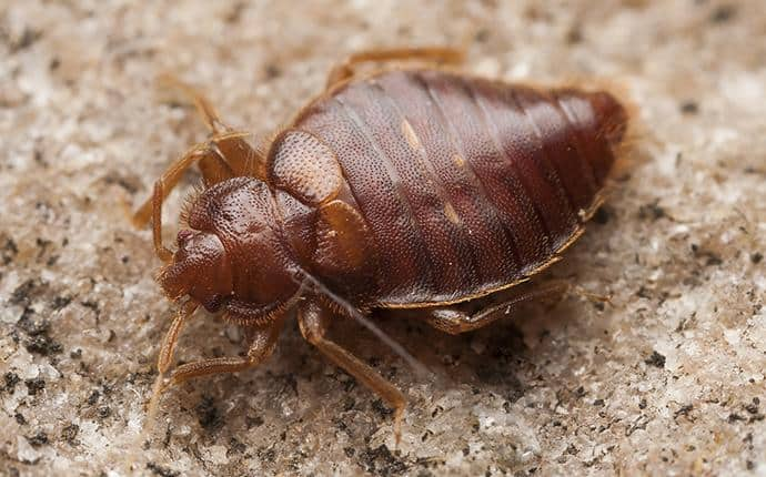 adult bed bug in ellensburg wa