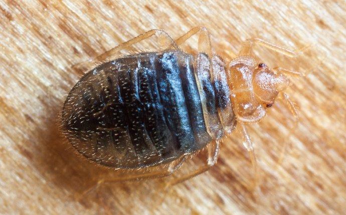 bed bug crawling on a headboard in ahtanum washington