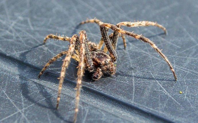 an american house spider crawling in an easton washington home