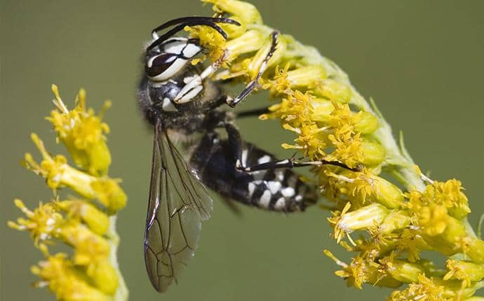 bald faced hornet in washington state