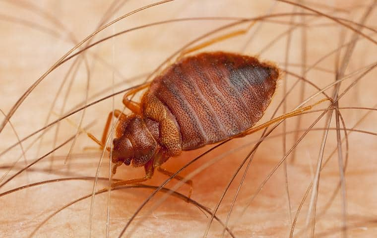 bed bug on mans arm in washington