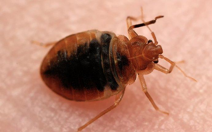 bed bug crawling on roslyn resident
