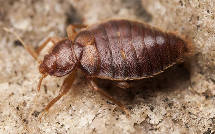 bed bug in washington home
