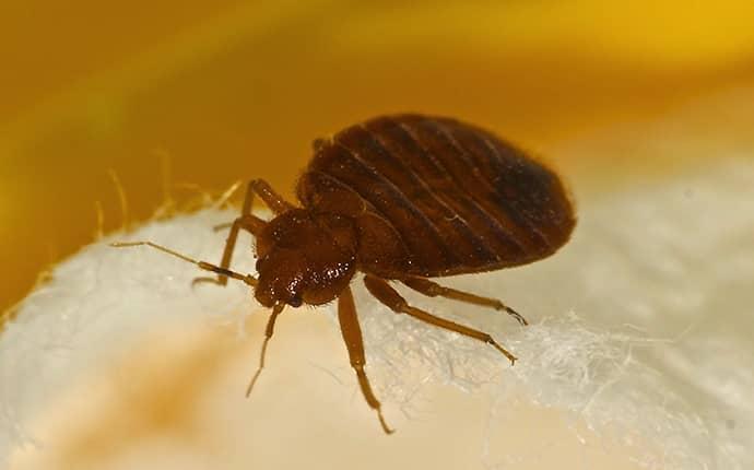 bed bug crawling on bed in yakima wa