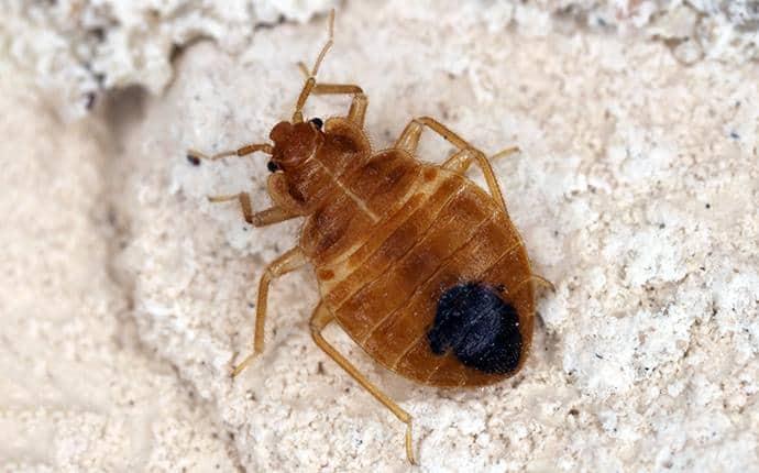 bed bug nymph in kittitas wa