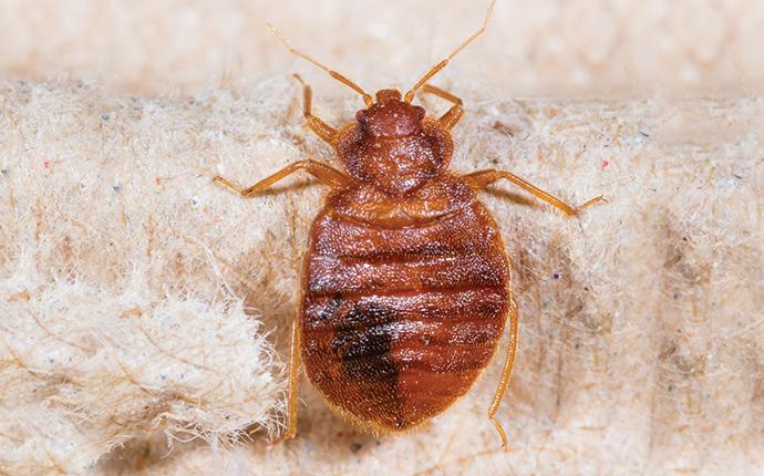 a bed bug crawling on bedding in gleed