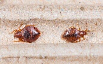bed bugs infesting a headbord in a easton washington home