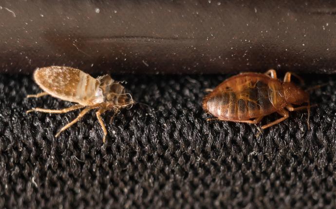 bed bug shedding