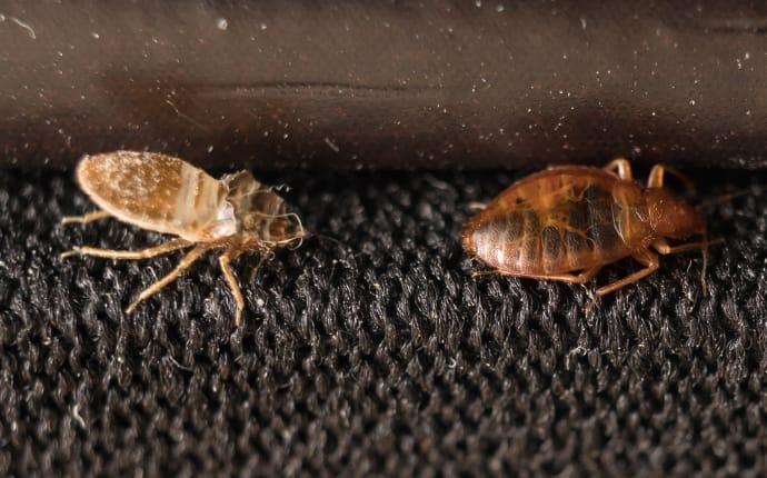 bed bugs crawling on furniture