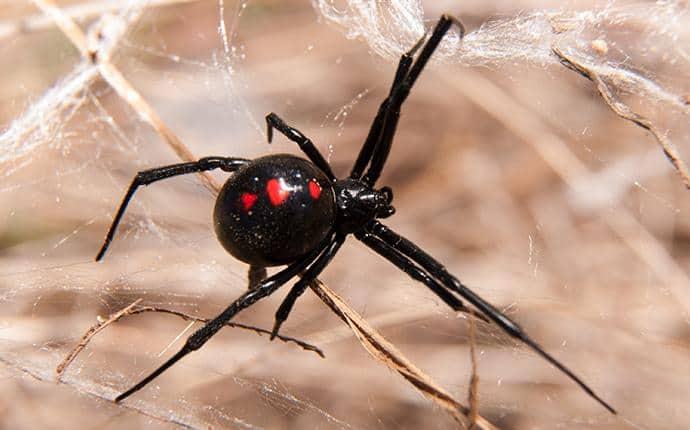 black widow spider in central washington