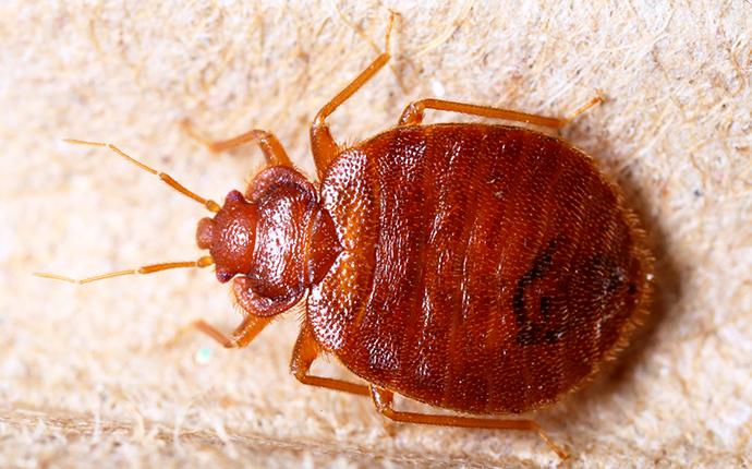 a fully grown adult bed bug crawling through the white linen sheets in a yakima washington state home