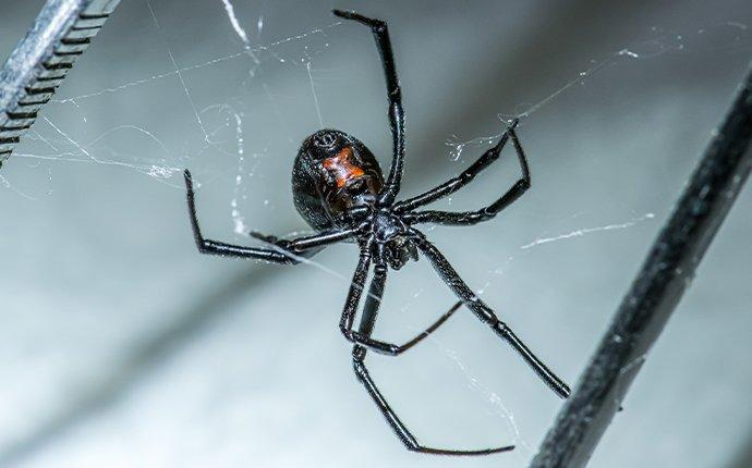 a black widow spider crawling in a web