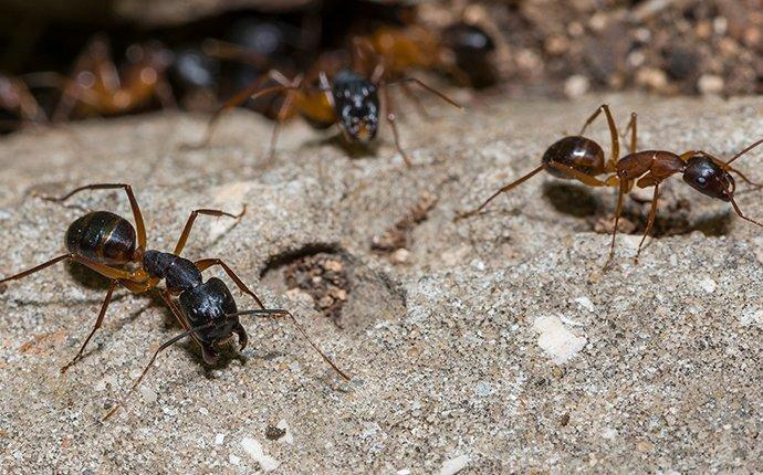 a few carpenter ants crawling around on the ground