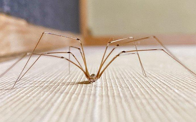 a cellar spider in a living room